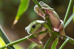 Αυστραλιανοί πράσινοι βάτραχοι δέντρων Στοκ εικόνες με δικαίωμα ελεύθερης χρήσης
