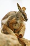 αυστραλιανός βράχος wallaby Στοκ Φωτογραφία