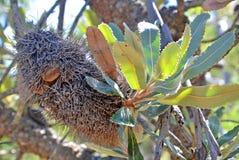 Αυστραλιανός ηληκιωμένος Banksia Στοκ Εικόνες