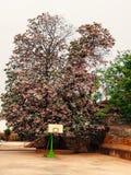 Αυστραλιανός θάμνος λουλουδιών δόξας - εικόνα αποθεμάτων Στοκ Φωτογραφία