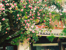 Αυστραλιανός θάμνος λουλουδιών δόξας - εικόνα αποθεμάτων Στοκ φωτογραφία με δικαίωμα ελεύθερης χρήσης