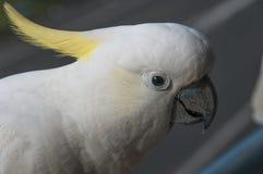 Αυστραλιανός θείο-λοφιοφόρος επικεφαλής πυροβολισμός Cockatoo Galerita Cacatua Στοκ Φωτογραφία