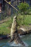 Αυστραλιανός κροκόδειλος θαλασσινού νερού Στοκ φωτογραφία με δικαίωμα ελεύθερης χρήσης