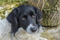 αυστραλιανός ποιμένας σκυλιών Στοκ εικόνες με δικαίωμα ελεύθερης χρήσης