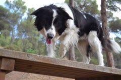 αυστραλιανός ποιμένας σκυλιών Στοκ φωτογραφία με δικαίωμα ελεύθερης χρήσης
