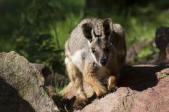 Αυστραλιανός σπάνιος κίτρινος-πληρωμένος βράχος-Wallaby, xanthopus xanthopus Petrogale στοκ φωτογραφίες