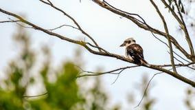 αυστραλιανό γέλιο kookaburra στοκ εικόνες