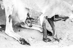 αυστραλιανό καγκουρό Στοκ Εικόνες