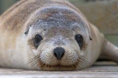 Αυστραλιανό κουτάβι λιονταριών θάλασσας Στοκ Εικόνες