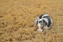 Αυστραλιανό κουτάβι ποιμένων - μπλε Merle Στοκ Εικόνες