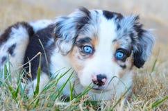 Αυστραλιανό κουτάβι ποιμένων - μπλε Merle Στοκ Φωτογραφίες