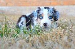 Αυστραλιανό κουτάβι ποιμένων - μπλε Merle Στοκ Φωτογραφία