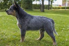Αυστραλιανό κουτάβι σκυλιών βοοειδών στην πράσινη χλόη Στοκ Εικόνες
