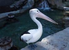 Αυστραλιανό πουλί θάλασσας πελεκάνων στοκ φωτογραφία