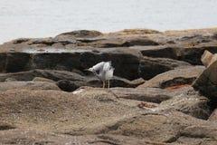 Αυστραλιανό πουλί θάλασσας Στοκ Εικόνες