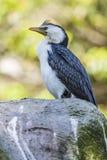 αυστραλιανό πουλί Στοκ Φωτογραφία