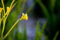 Αυστραλιανό πόδι καγκουρό - χρυσός Haemodoraceae Anigozanthos Μπους - Στοκ Εικόνες