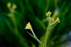 Αυστραλιανό πόδι καγκουρό - χρυσός Haemodoraceae Anigozanthos Μπους - Στοκ Φωτογραφίες