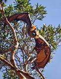 Αυστραλιανό ρόπαλο φρούτων (πετώντας αλεπού) Στοκ Φωτογραφίες