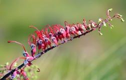 Αυστραλιανό ρόδινο και πορφυρό λουλούδι Grevillea Στοκ Φωτογραφία