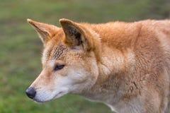 Αυστραλιανό σκυλί, άποψη κινηματογραφήσεων σε πρώτο πλάνο του κεφαλιού και λαιμός με το φυσικό υπόβαθρο Στοκ Εικόνες