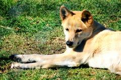 αυστραλιανό dingo Στοκ Εικόνα