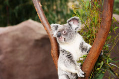 Αυστραλιανό Koala αντέχει Στοκ Εικόνες