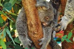 αυστραλιανό koala Στοκ φωτογραφίες με δικαίωμα ελεύθερης χρήσης