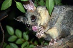 Αυστραλιανό possum Brushtail που τρώει τα φρούτα Στοκ Φωτογραφία