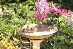 Αυστραλιανό Silvereyes σε ένα λουτρό πουλιών Στοκ Φωτογραφία