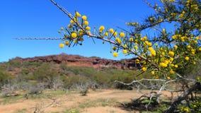 αυστραλιανό wattle λουλουδιών Στοκ εικόνες με δικαίωμα ελεύθερης χρήσης