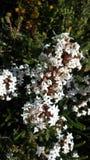 Αυστραλιανό Wildflower Στοκ φωτογραφία με δικαίωμα ελεύθερης χρήσης