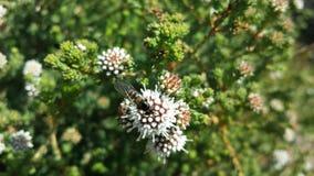 Αυστραλιανό Wildflower Στοκ εικόνες με δικαίωμα ελεύθερης χρήσης