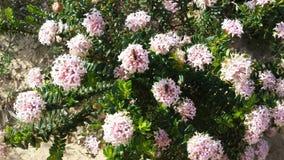 Αυστραλιανό Wildflower Στοκ φωτογραφίες με δικαίωμα ελεύθερης χρήσης