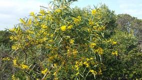 Αυστραλιανό Wildflower Στοκ Εικόνες