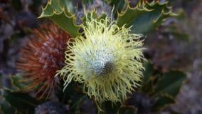 Αυστραλιανό Wildflower Στοκ Εικόνα