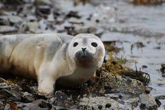Αυτάρεσκη κούπα μιας σφραγίδας μωρών σε μια δύσκολη παραλία Στοκ Φωτογραφίες