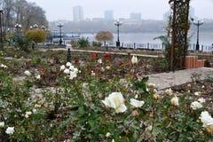 Αυτά είναι άσπρα τριαντάφυλλα, κόκκινα τριαντάφυλλα το πρώιμο φθινόπωρο στοκ εικόνα