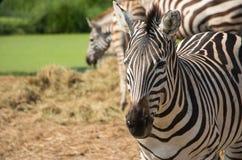 Αυτά τα zebras στο ζωολογικό κήπο απέραντο Στοκ Φωτογραφίες