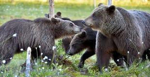 Αυτή-αρκούδα και αρκούδα-bear-cubs Στοκ Φωτογραφίες