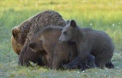 Αυτή-αρκούδα και αρκούδα-bear-cubs Στοκ Εικόνα