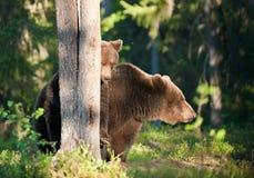 Αυτή-αρκούδα και αρκούδα-bear-cubs Στοκ Φωτογραφία