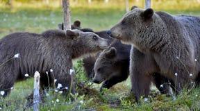Αυτή-αρκούδα και αρκούδα-bear-cubs Στοκ φωτογραφία με δικαίωμα ελεύθερης χρήσης