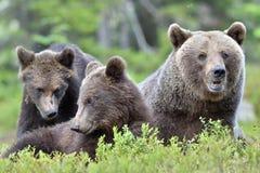 Αυτή-αρκούδα και αρκούδα-bear-cubs Στοκ Εικόνες
