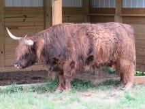 Αυτή η σκωτσέζικη αγελάδα ορεινών περιοχών πρέπει να είναι καυτή το καλοκαίρι στοκ φωτογραφίες με δικαίωμα ελεύθερης χρήσης