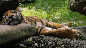 Αυτή η τίγρη Sumatran παίρνει ένα NAP στοκ εικόνα με δικαίωμα ελεύθερης χρήσης