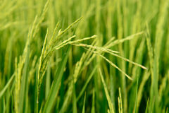 Αυτί ρυζιού Στοκ Φωτογραφία