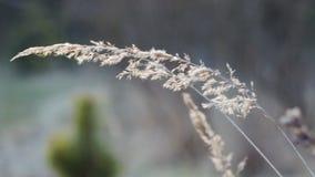 Αυτί της κίτρινης ξηράς χλόης που κινείται, που ταλαντεύεται από τα μπουρίνια του αέρα φιλμ μικρού μήκους