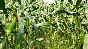 Αυτί του καλαμποκιού έτοιμο για τη συγκομιδή, τομέας καλαμποκιού, αγρόκτημα καλαμποκιού Γεωργική έννοια, γεωργική έννοια βιομηχαν απόθεμα βίντεο