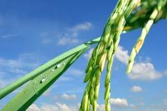 Αυτί του ρυζιού Στοκ φωτογραφία με δικαίωμα ελεύθερης χρήσης